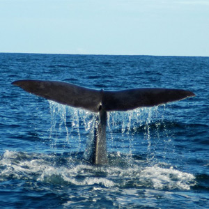 Kaikoura Whale watching ex Chch  1 adult