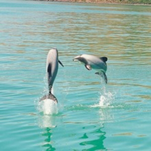 Dolphin Watching - Akaroa - 1 person